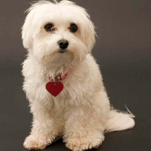 Maltese with collar