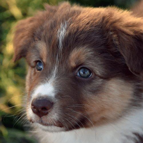 Bi-colored aussie puppy