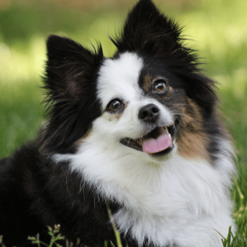 tri-colored toy aussie full face