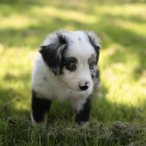 toy australian shepherd walking on the grass