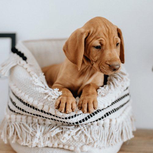 Vizsla in the basket