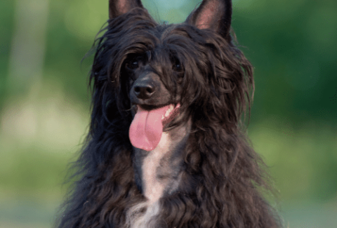 black chinese crested