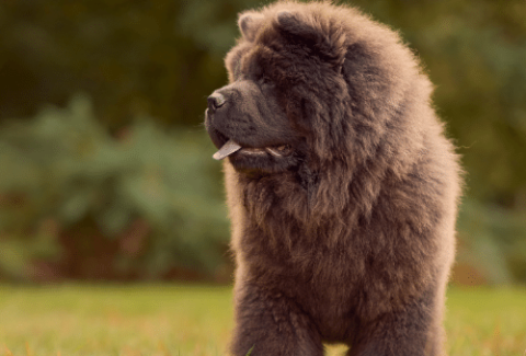 cost of a chow chow