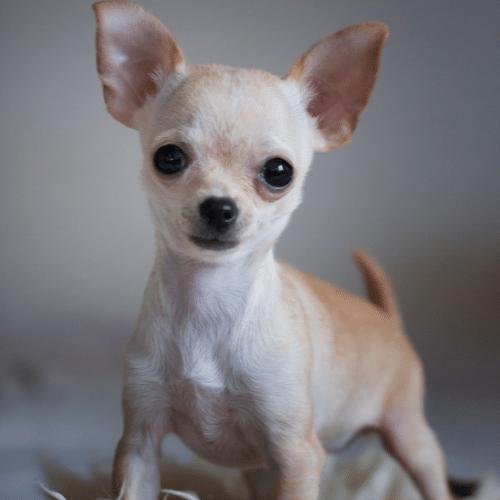 teacup chihuahua posing