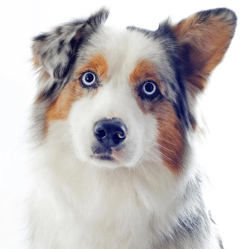 Australian Shepherd ears on the white background