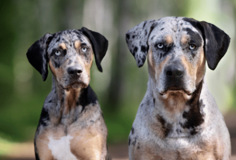 Catahoula Leopard Dog and her puppy