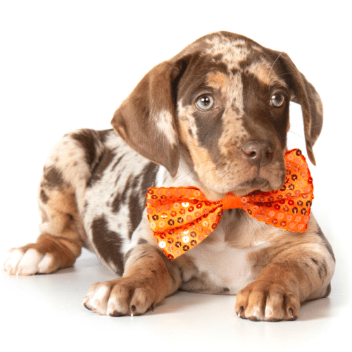 Catahoula Leopard puppy with bow