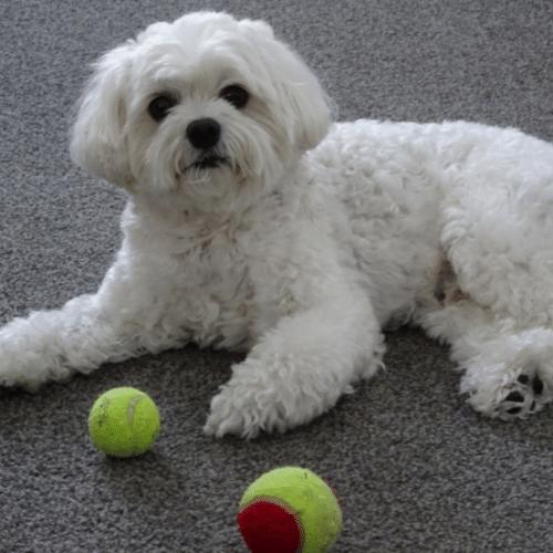 cavachon with tennis balls