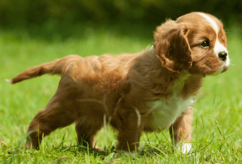 Cavalier King Charles Spaniel puppy outside