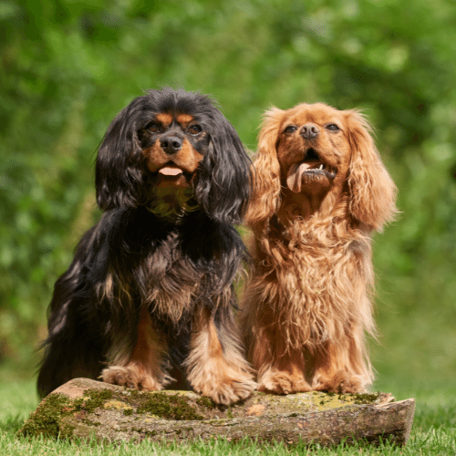 two Cavalier King Charles Spaniels different colors