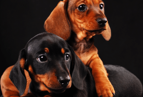 2 Dachshunds on the black background