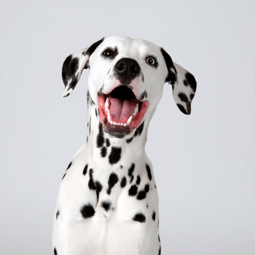 happy Dalmatian on the grey background