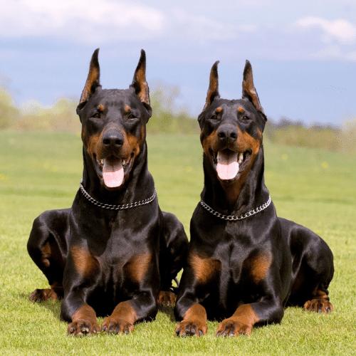 two Dobermans on the field