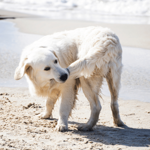 dog on the beach with tail in his mouth