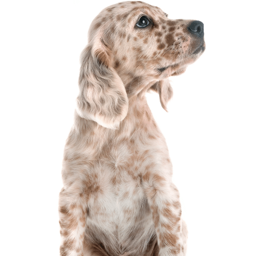 puppy english setter on the white background