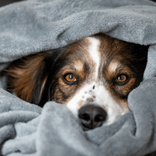 english shepherd covered with the blanket