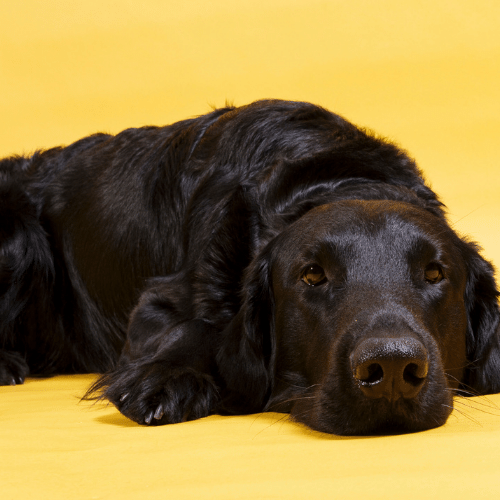 Flat-Coated Retriever on the white background