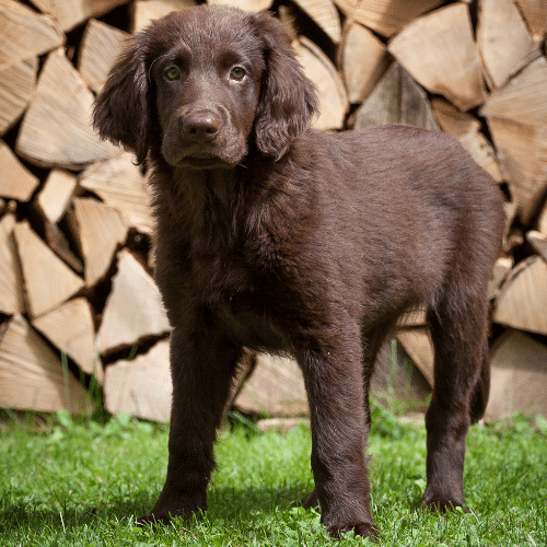 puppy Flat-Coated Retriever outside