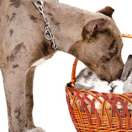 merle pitbull with the basket