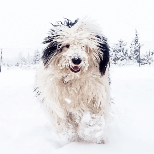 Sheepadoodle running on the snow