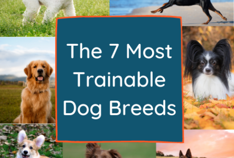 The 7 Most Trainable Dog Breeds