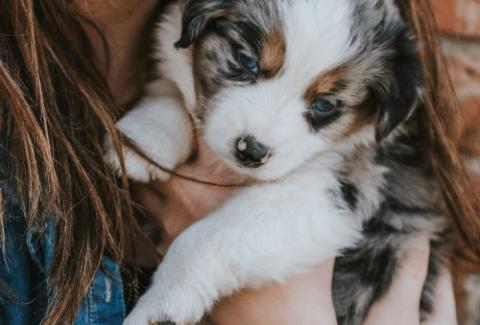 aussie with owner cuddling
