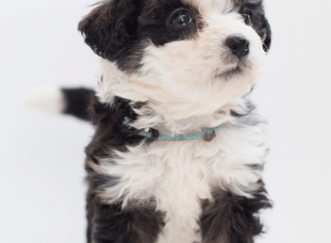 bernedoodle puppy on the white background