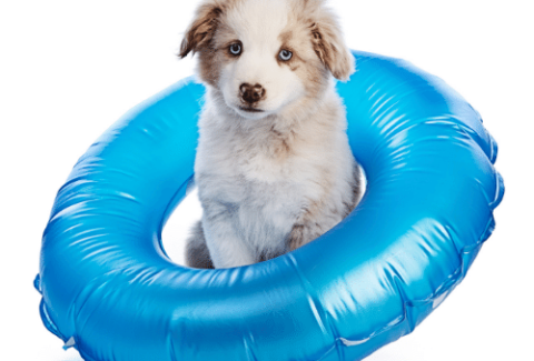 mini aussie with inflatable ring on