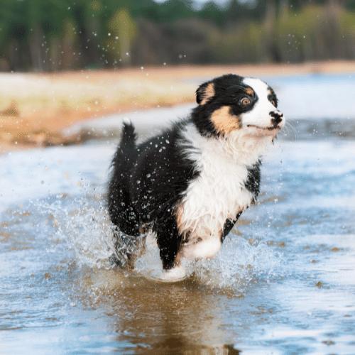 miniature australian shepherd running through the water
