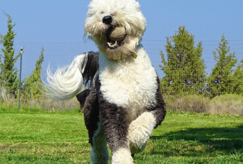 sheepadoodle with the ball