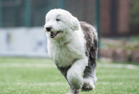 sheepadoodle running on the field