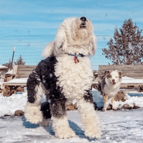 sheepadoodle and aussie on the winter