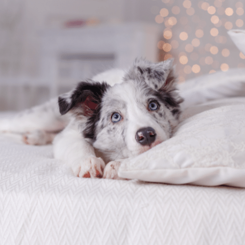 aussie laying on the bed