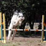Dog Agility @ Home