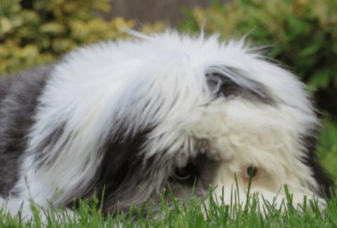 Sheepadoodle hiding in a grass