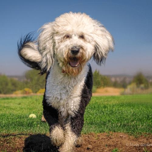 Sheepadoodle running outside
