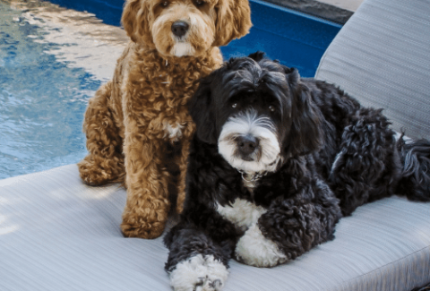 bernedoodles at the pool