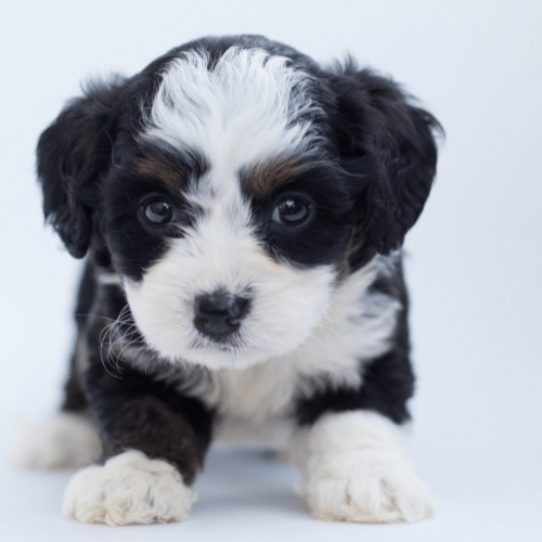 puppy bernedoodle on the white bawckground