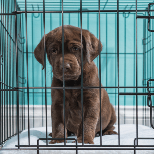 puppy in a crate on the blue background