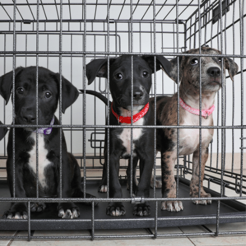 3 puppies in a crate