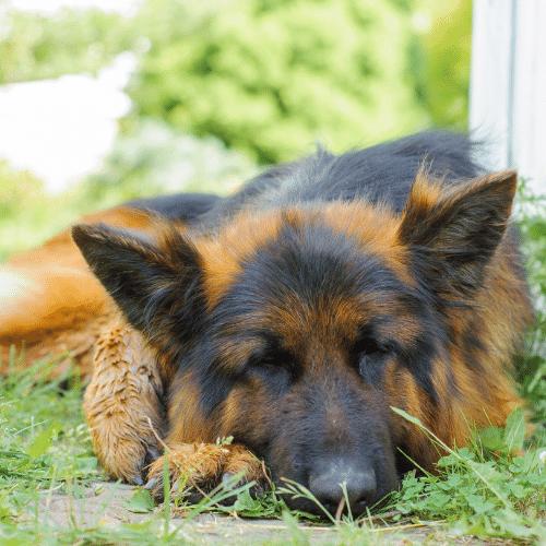 german shepherd laying on the grass