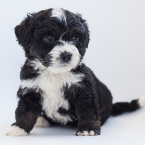 black and white bernedoodle puppy on the white background