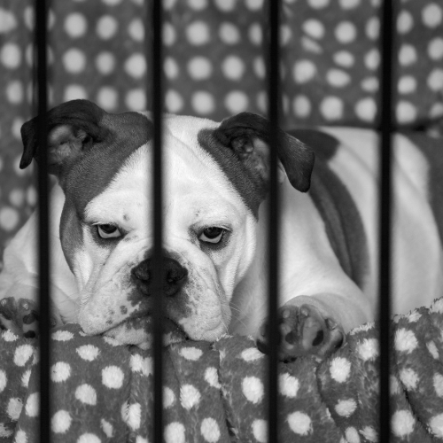 dog in a crate black and white
