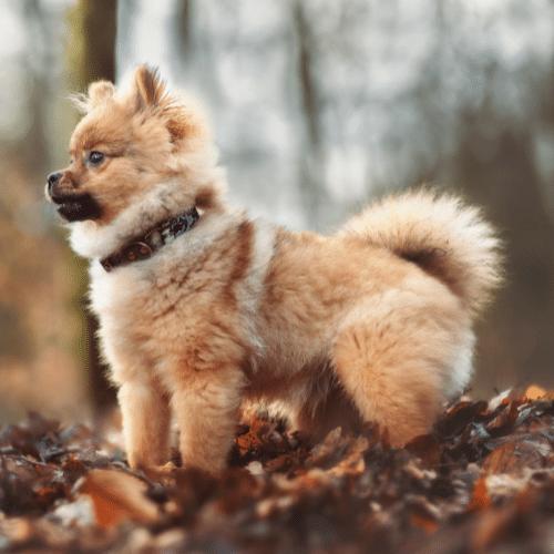 walking with pomeranian in autumn