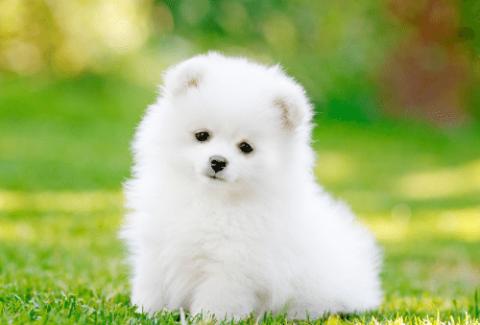 wwhite pomeranian puppy outside