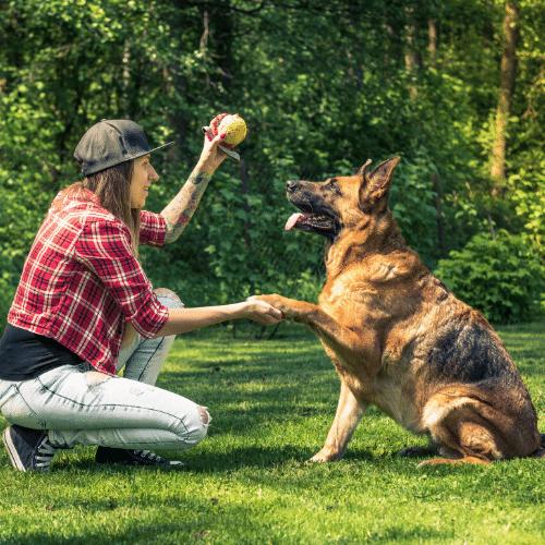 german shepherd with owner playing