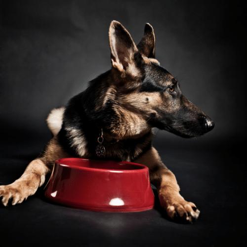german shepherd with a bowl of food