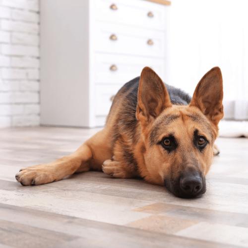 german shepherd indoor lay down